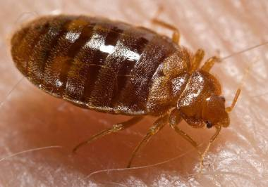 bed bugs melbourne, bed bugs pest control, bed bug heat treatment & bed bugs treatment melbourne