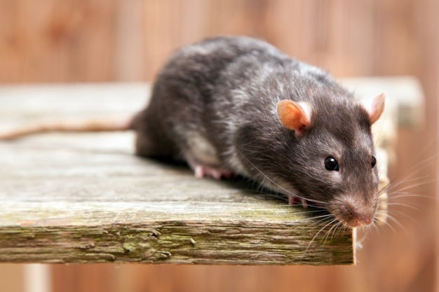 Rodent Removal Melbourne | Mouse Removal Melbourne