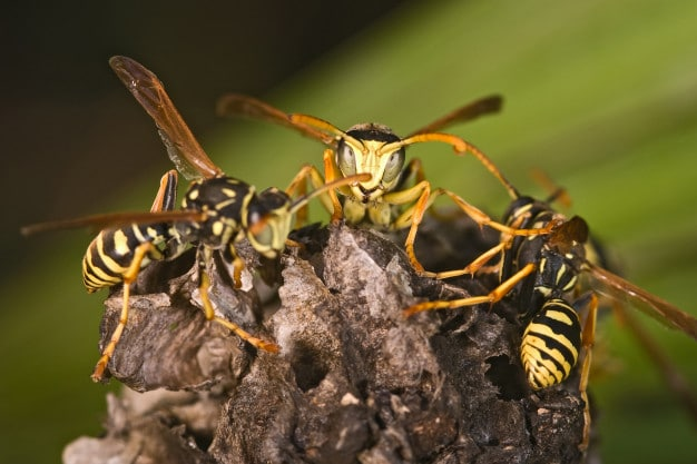 wasp control services Melbourne, Wasp pest control Melbourne, wasp nest removal Melbourne & wasp treatment Melbourne